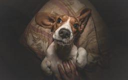 Милый Petting собаки бигля Стоковое Изображение