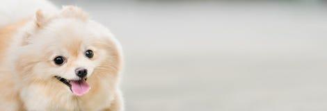 Милый pomeranian усмехаться собаки смешной, с космосом экземпляра, горизонтальное прямоугольное изображение, фокус на глазе Стоковые Фотографии RF