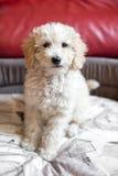 Милый shaggy маленький cream щенок пуделя игрушки Стоковые Изображения RF