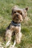милый terrier yorkshire Стоковые Изображения