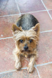 милый terrier yorkshire Стоковые Фотографии RF