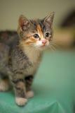 Милый tricolor котенок Стоковая Фотография