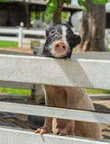 Милым свинья bellied баком Стоковые Изображения
