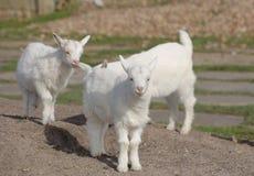 3 милых белых дет козы на земле Стоковые Изображения