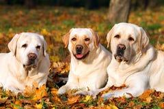 3 милых желтых labradors в парке в конце осени вверх Стоковая Фотография