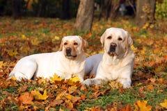 2 милых желтых labradors в парке в осени Стоковые Изображения