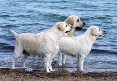 3 милых желтых labradors морем Стоковое фото RF