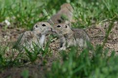 2 милых земных белки деля меньший поцелуй Стоковая Фотография