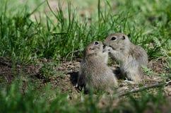 2 милых земных белки деля меньший поцелуй Стоковое фото RF