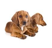 2 милых изолированного щенят таксы/ Стоковые Фотографии RF