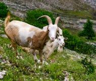 2 милых козы в горе Стоковое Изображение RF