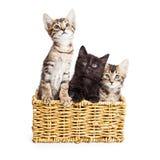 3 милых котят в корзине Стоковое Изображение