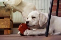 2 милых молодых щенят собаки labrador прижимаясь совместно Стоковые Изображения RF