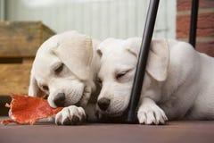 2 милых молодых щенят собаки labrador прижимаясь совместно Стоковая Фотография RF