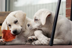 2 милых молодых щенят собаки labrador прижимаясь совместно Стоковое фото RF