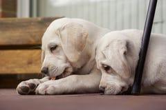 2 милых молодых щенят собаки labrador прижимаясь совместно Стоковые Фото