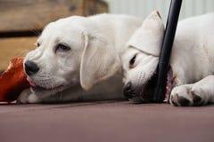 2 милых молодых щенят собаки labrador прижимаясь совместно Стоковое Фото