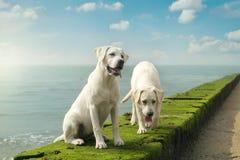 2 милых молодых щенят собаки labrador сидя на стене Стоковое фото RF