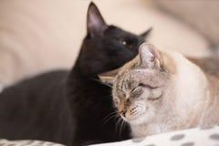 2 милых отечественных кота коротких волос snuggle друг с другом стоковое фото
