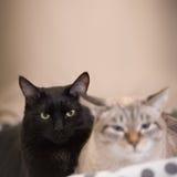 2 милых отечественных кота коротких волос snuggle друг с другом стоковые фотографии rf