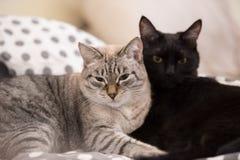 2 милых отечественных кота коротких волос snuggle друг с другом стоковое изображение