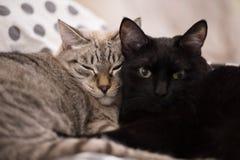 2 милых отечественных кота коротких волос snuggle друг с другом стоковые изображения