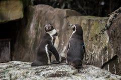 2 милых пингвина на зоопарке в Берлине Стоковое Фото