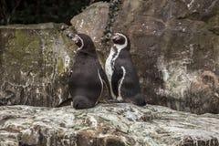 2 милых пингвина на зоопарке в Берлине Стоковое фото RF