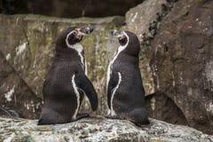 2 милых пингвина на зоопарке в Берлине Стоковое Изображение RF