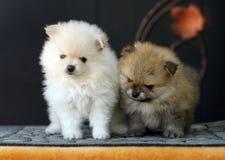 2 милых прелестных щенят Pomeranian Стоковые Изображения