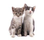2 милых серых котят изолированного на белой предпосылке Стоковые Фотографии RF