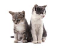 2 милых серых котят изолированного на белой предпосылке Стоковые Фото