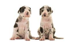 2 милых щенят больших датчанина Стоковое Изображение