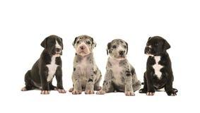 4 милых щенят больших датчанина Стоковое Фото
