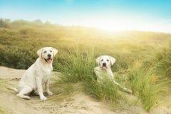 2 милых щенят маленьких собаки перед заходом солнца Стоковая Фотография