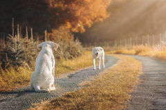 2 милых щенят собаки labrador на поле во время осени Стоковое фото RF