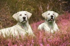 2 милых щенят собаки labrador на поле с фиолетовыми цветками Стоковые Изображения