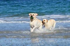 2 милых labradors на море с шариком Стоковая Фотография RF