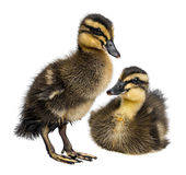 2 милых newborn утят Стоковая Фотография RF