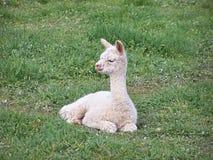 младенец альпаки Стоковая Фотография