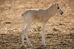 младенец антилопы addax Стоковое фото RF