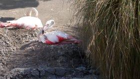 Младенец большого фламинго fedding Стоковые Фотографии RF