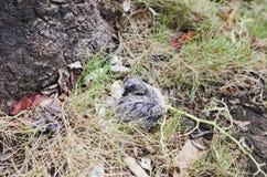 Младенец голубя упаденный от гнезда стоковая фотография