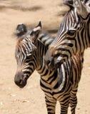 младенец его мать стоит зебра Стоковая Фотография RF