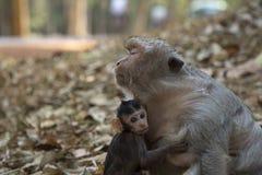 Младенец макаки длинного хвоста обнимает его мать стоковая фотография
