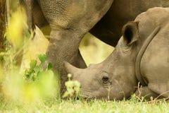 Младенец носорога стоковая фотография