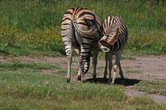 младенец нянчит зебру Стоковое Фото