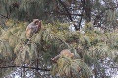 Младенец обезьяны играя с конусом сосны стоковые фотографии rf