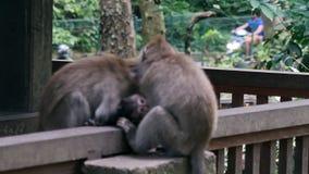 Младенец обезьяны с взрослыми животными в Бали акции видеоматериалы