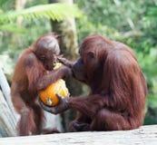 Младенец орангутана матери питаясь стоковая фотография